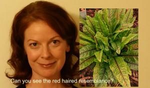 Red headed lettuce