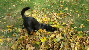 joey-down-dog-with-fall-leaves-2